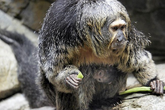 Monkeys: the best way to study gendered behaviour in humans! (Picture of this lovely white-faced saki monkey courtesy of Como Park Zoo and Conservatory)